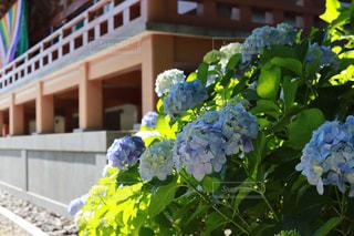 あじさい,紫陽花,智積院
