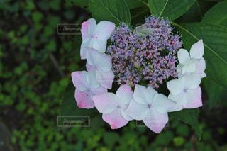 花,あじさい,景色,紫陽花,梅雨,ガクアジサイ,草木