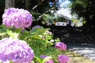 花,ピンク,あじさい,紫陽花,智積院