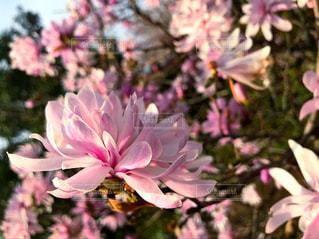 ピンク,庭園,桃色,pink,神奈川県,マグノリア,ガーデン,フォトジェニック,平塚市,花菜ガーデン,インスタ映え