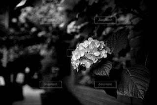 白黒,紫陽花,モノクローム,モノトーン,鎌倉