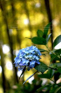 THE紫陽花、明月院ブルーの写真・画像素材[1251129]