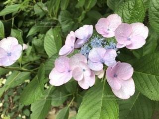 雨,あじさい,紫陽花,梅雨