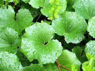 雨,緑,梅雨,ふき,フキ