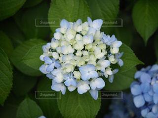 花,あじさい,一輪,満開,紫陽花,梅雨,アジサイ