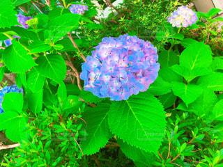 花,屋外,緑,景色,草,紫陽花,新緑,梅雨,草木,アジサイ,ガーデン