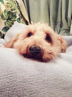 犬,いぬ,毛布,まったり,おねむ,もふもふ
