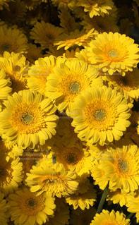 黄色の花の束の写真・画像素材[1370231]