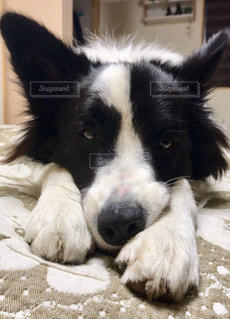 地面に横たわって白と黒犬の写真・画像素材[1006287]