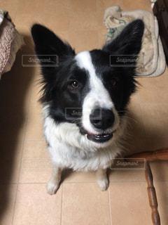 黒と白の犬の写真・画像素材[1006289]