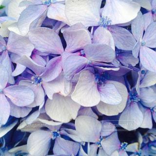 花,あじさい,紫,景色,紫陽花