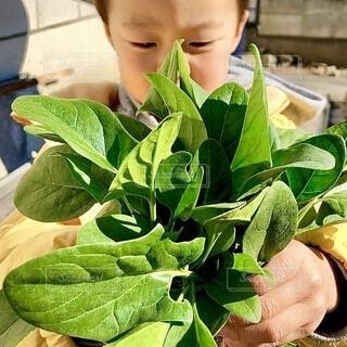 子供,手持ち,野菜,人物,人,ポートレート,少年,畑,男の子,収穫,ライフスタイル,草木,ほうれん草,手元,少し
