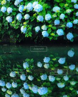 紫陽花のリフレクションの写真・画像素材[1255253]