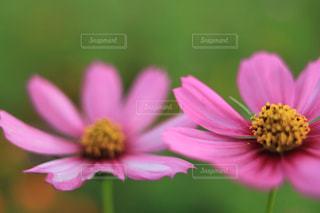 自然,花,花畑,コスモス