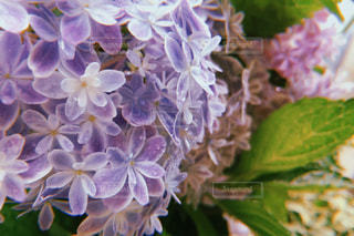 花,庭,ピンク,緑,白,フラワー,紫,紫陽花,梅雨をふきとばそう