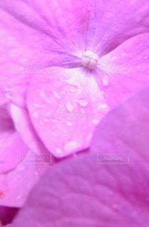 紫陽花の小さな世界の写真・画像素材[1256430]
