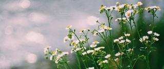 風景,花,部屋,景色,キラキラ,ヒメジョオン,草木,陽の光,部屋からの景色,姫女苑,部屋からの風景