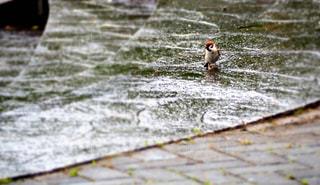 雨に見るすずめの思いの写真・画像素材[1261353]