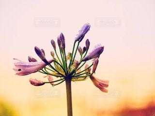 風景,花,夕日,雨,ピンク,夕焼け,夕暮れ,紫,水滴,景色,オレンジ,キラキラ,夕景,sunset,滴,雨粒,アガパンサス