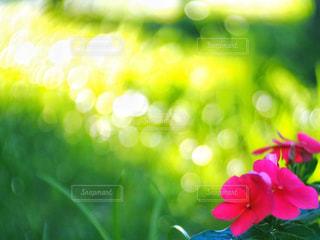 風景,花,夕日,屋外,太陽,緑,植物,赤,綺麗,夕焼け,夕暮れ,景色,鮮やか,オレンジ,キラキラ,夕景,sunset,草木,ひきこまれる
