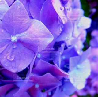 紫陽花と雨の共演の写真・画像素材[1369889]