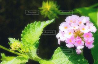 紫陽花 あじさい アジサイの写真・画像素材[1373494]