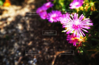 松葉菊の写真・画像素材[1373498]