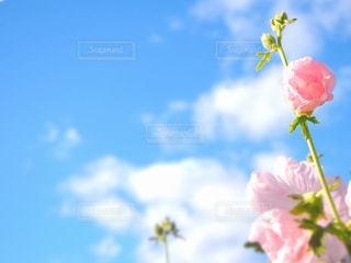 風景,空,花,夏,屋外,大阪,ピンク,植物,白,かわいい,カラフル,雲,晴れ,青空,青,水色,河原,未来,flower,梅雨,スナップ,風物詩,旅立ち,flowers,ポジティブ,陽の光,輝き,日中,晴れの日,タチアオイ,梅雨明け,フォトジェニック,立葵,飛躍,未来へ,インスタ映え,たちあおい