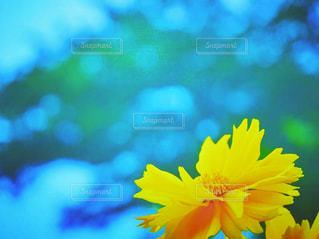 自然,風景,空,花,夏,屋外,植物,コスモス,晴れ,青空,青,黄色,水色,河原,キラキラ,未来,flower,秋桜,スナップ,旅立ち,flowers,ポジティブ,陽の光,輝き,日中,晴れの日,フォトジェニック,飛躍,未来へ,インスタ映え,夏咲き