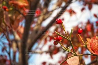 ハナミズキの紅葉の写真・画像素材[1613838]