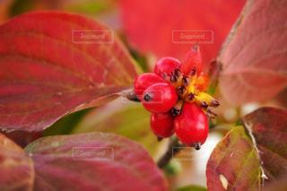 ハナミズキの紅葉と果実の写真・画像素材[1613871]