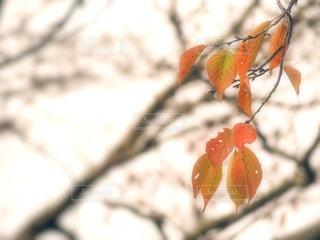 紅葉と初冬の写真・画像素材[1623565]