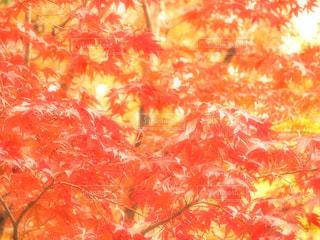 燃ゆる紅葉、秋満開の写真・画像素材[1653192]
