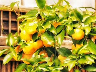 香る柚子の実りの写真・画像素材[1768262]