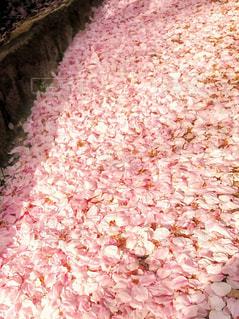 花絨毯・桜の写真・画像素材[1799128]