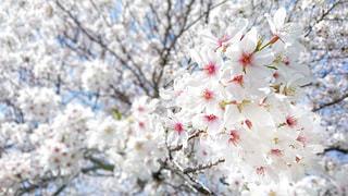桜花嵐の写真・画像素材[1836616]