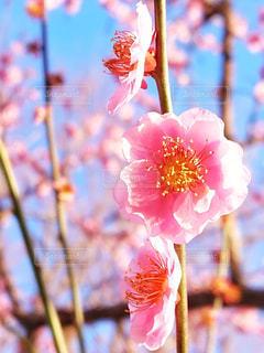 自然,風景,空,花,屋外,京都,ピンク,植物,梅,青空,花見,景色,樹木,お花見,快晴,ピンク色,桃色,コントラスト,草木,三月,3月,初春,早春,2月,室外,2月,3月,バラ科,二月,インスタ映え,薔薇科