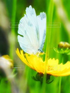 シジミチョウと夏咲きコスモスの写真・画像素材[2211171]