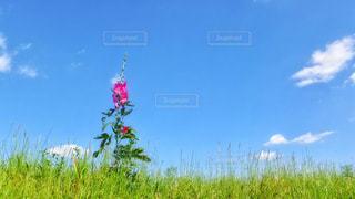 草原と空と雲とタチアオイの写真・画像素材[2428066]