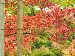 紅葉と竹林の写真・画像素材[2618378]