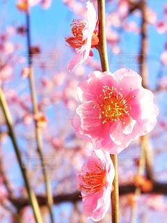 三連梅花の写真・画像素材[3014306]