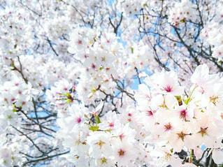 満開•桜嵐の写真・画像素材[3034794]