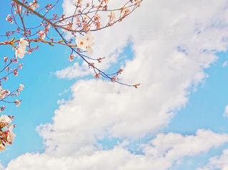 龍の桜の写真・画像素材[3034799]