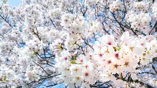 満開•桜嵐の写真・画像素材[3034842]