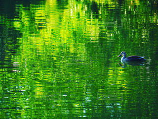 新緑の湖面と野鳥の写真・画像素材[3140386]
