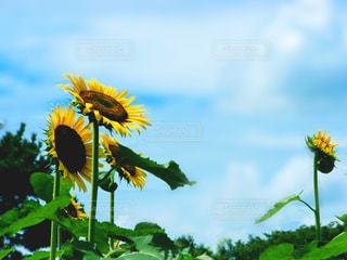 夏空下の休憩所向日葵の写真・画像素材[3246869]