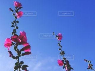三連の立葵の写真・画像素材[3344634]