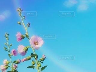 太陽と青空と立葵の写真・画像素材[3344635]
