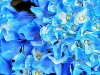 紫陽花のうねりの写真・画像素材[3377988]