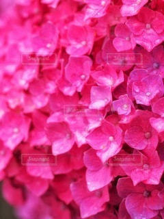 紫陽花の涙の写真・画像素材[3377990]